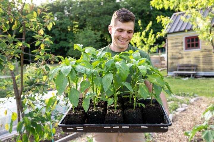 Celoten pladenj sadik domačih paprik, ki rastejo v maxi sadilni kocki.